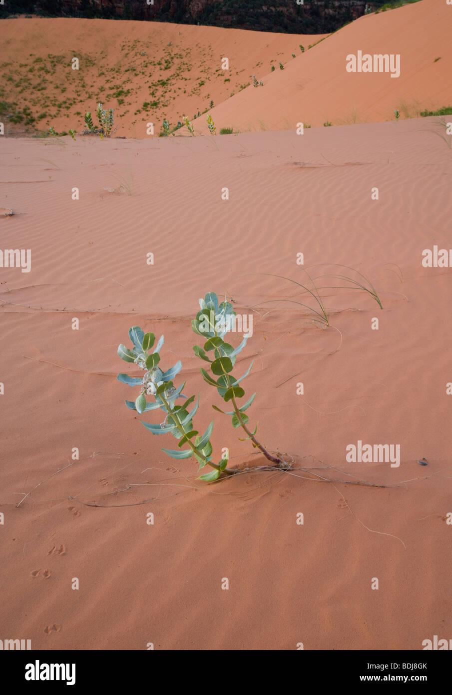 Welsh's Milkweed (Asclepias welshii) on sand dune - Stock Image