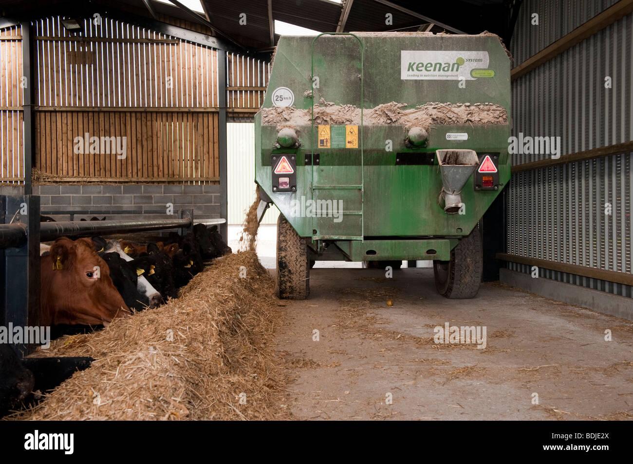 Livestock diet mixer feeding beef cattle in farm building. - Stock Image