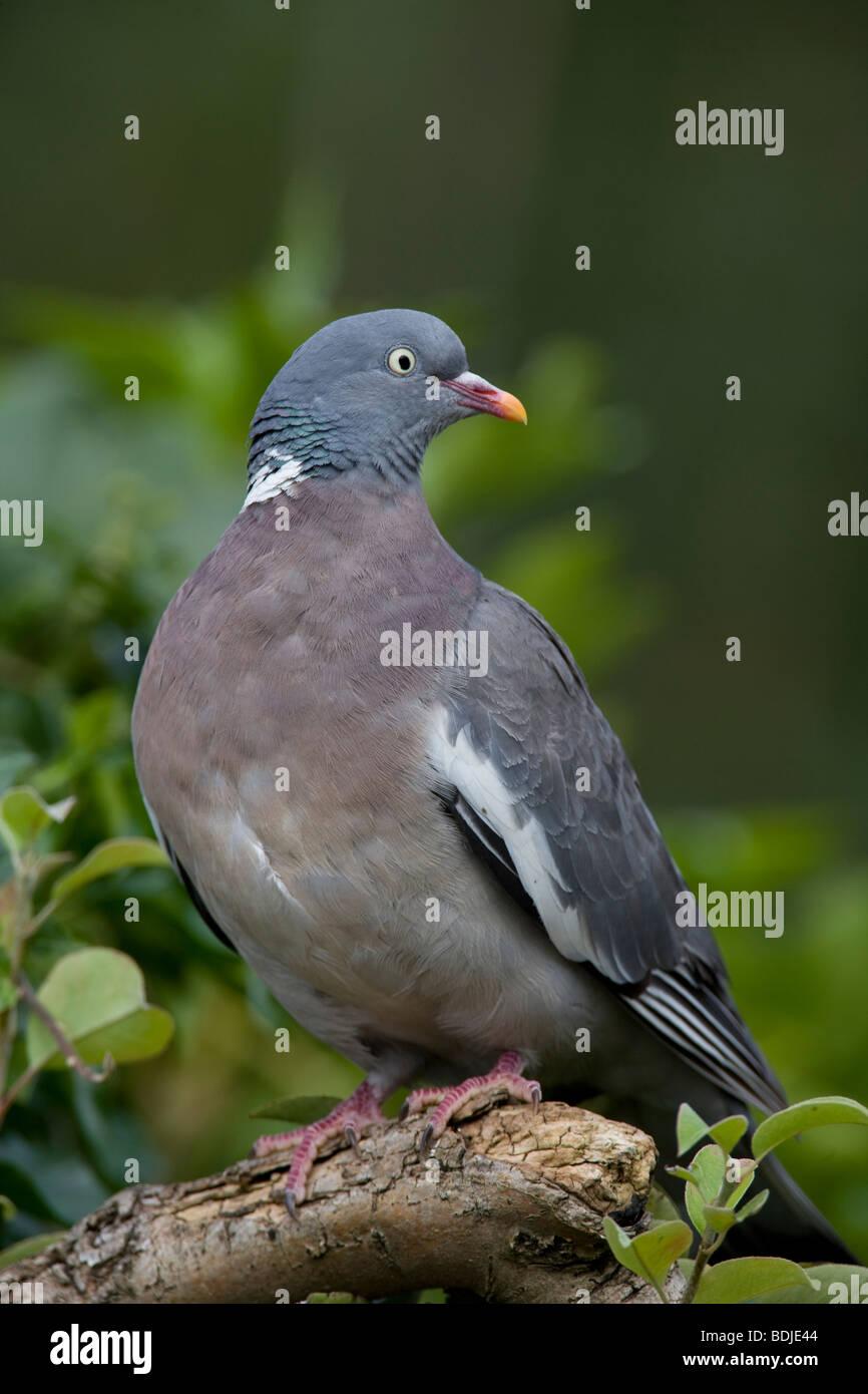 Woodpigeon Columba palumbus (Columbvidae) Gamebird - Stock Image