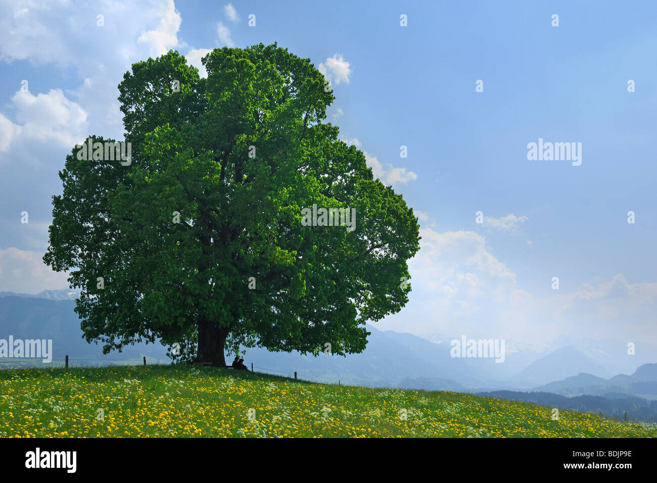 Lime Tree in Field, Ofterschwang, Allgaeu, Bavaria, Germany Stock Photo