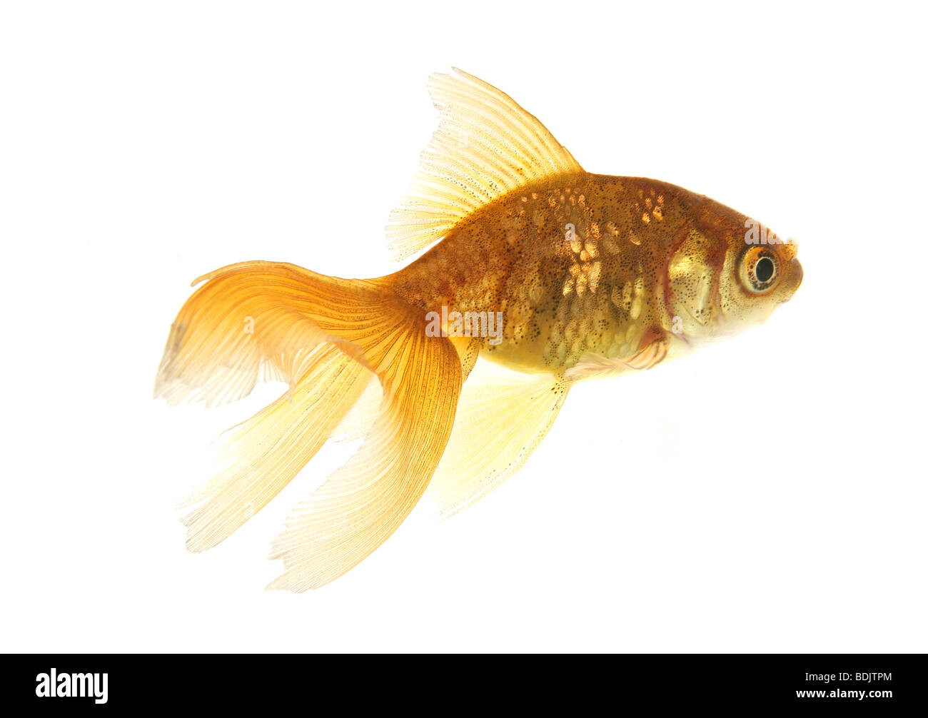 Goldfish - cut out / Carassius auratus auratus Stock Photo