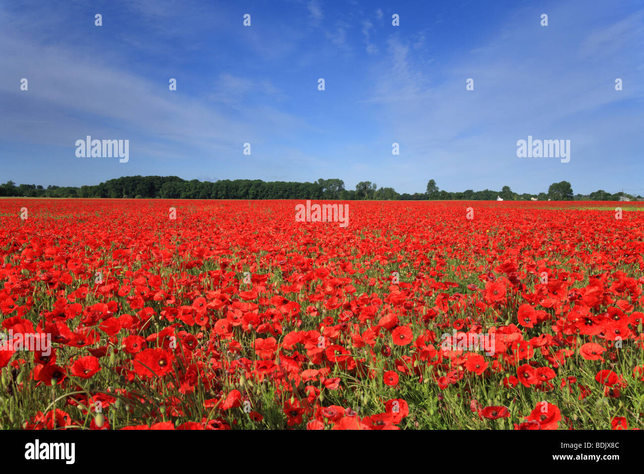 Field of poppies, 'Foxton' Cambridge, Cambridgeshire, England, UK - Stock Image