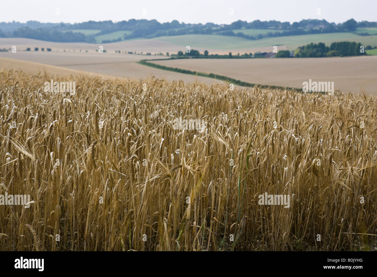 English countryside view of wheatfields  south of England farmland - Stock Image