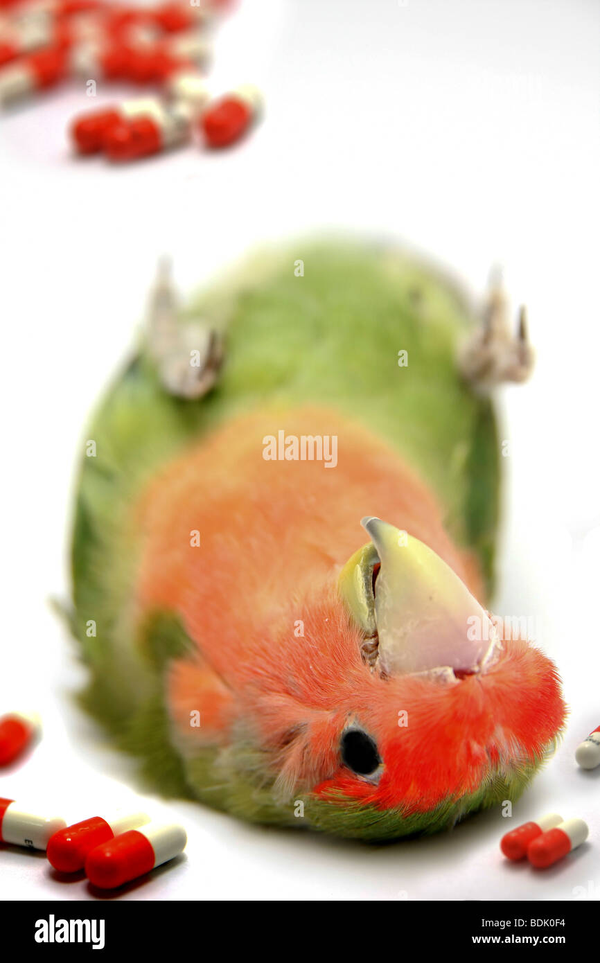 Cutout of a dead parrot on white background medical drugs are in view concept of overdose - Stock Image