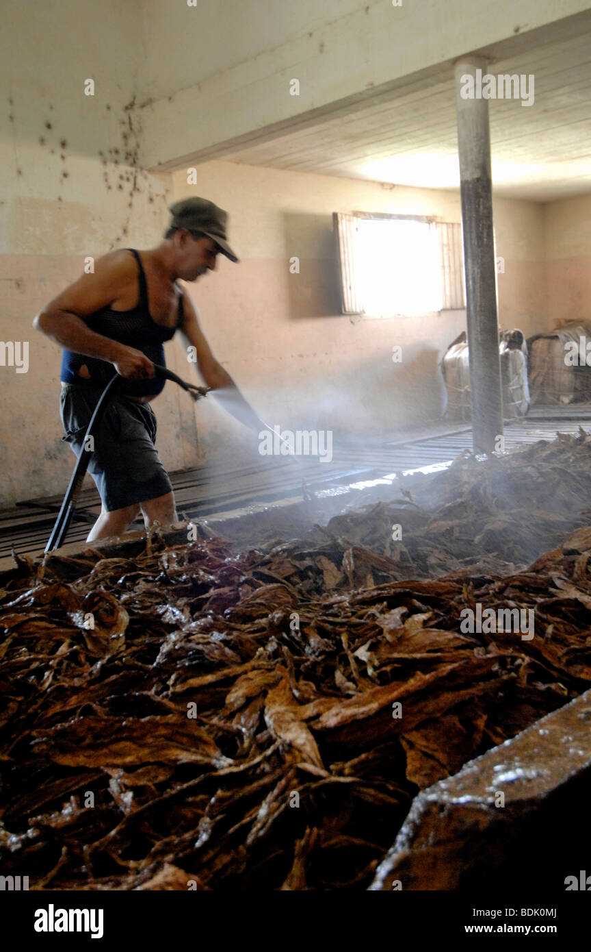 Wetting tobacco leaves for cigar production at Pinar del Rio. Cuba. - Stock Image