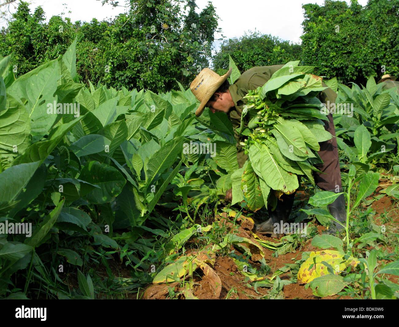 Harvesting tobacco leaves for cigar production at Pinar del Rio. Cuba. - Stock Image