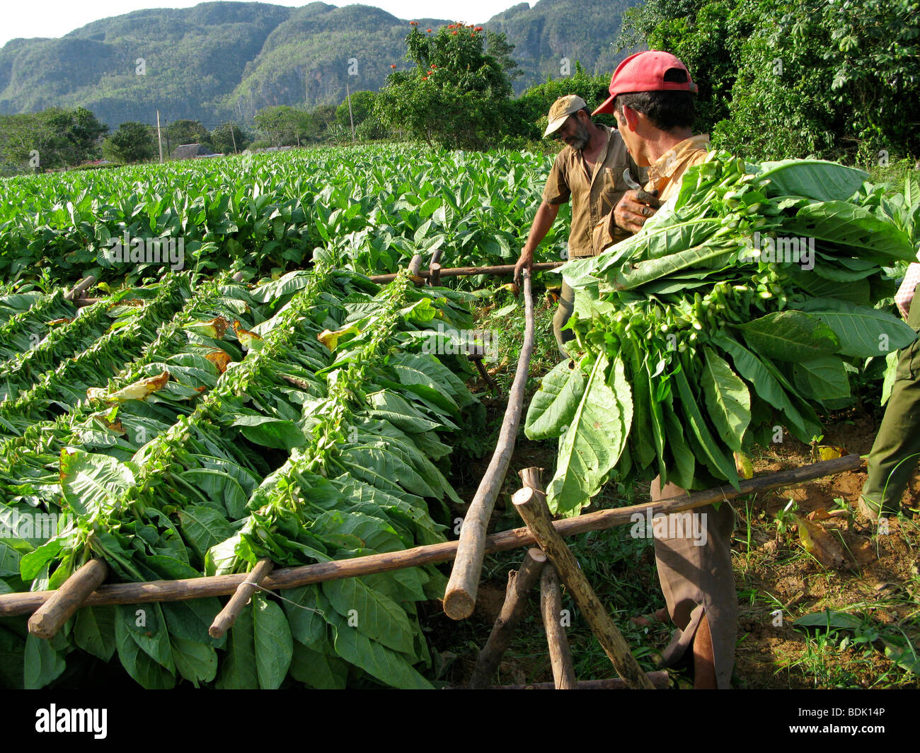 Harvesting tobacco leaves for cigar production at Pinar del Rio. Cuba. - Stock Image