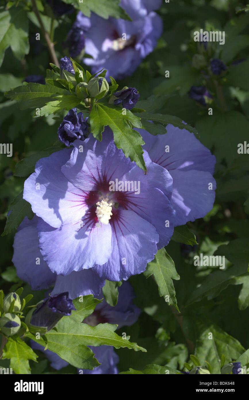 Hibiscus Syriacus Blue Bird Stock Photos Hibiscus Syriacus Blue