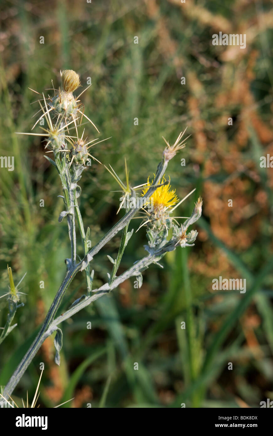 Yellow star-thistle is a noxious weed that can injure livestock and pets.  It grows in much of the United States - Stock Image