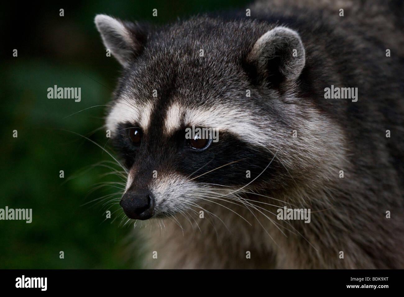 Raccoon in Stanley Park, Vancouver, British Columbia, Canada. - Stock Image