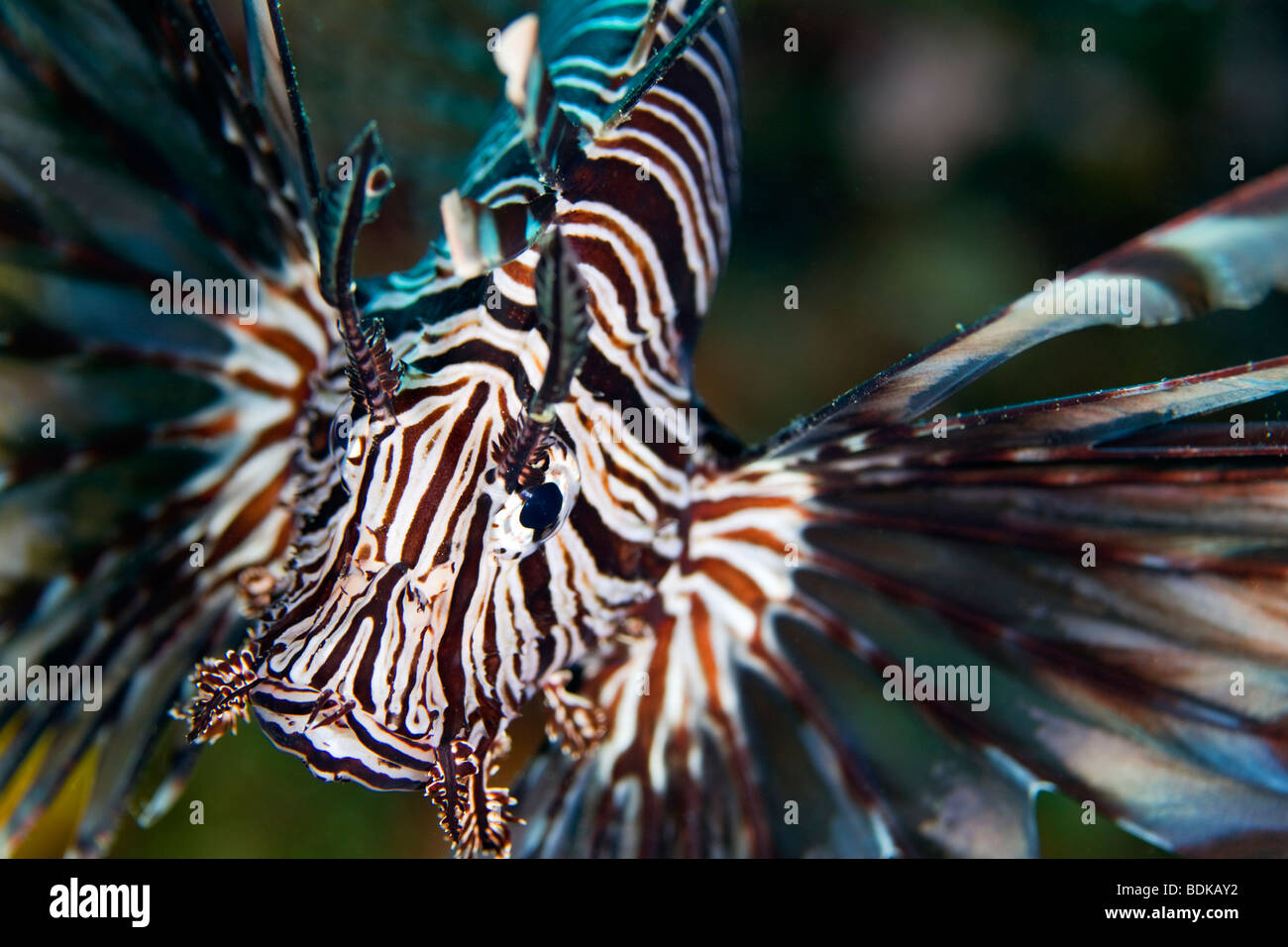 Lionfish Pterois volitans, a scorpionfish lies in ambush waiting for prey in Mione Bay, Papua New Guinea - Stock Image
