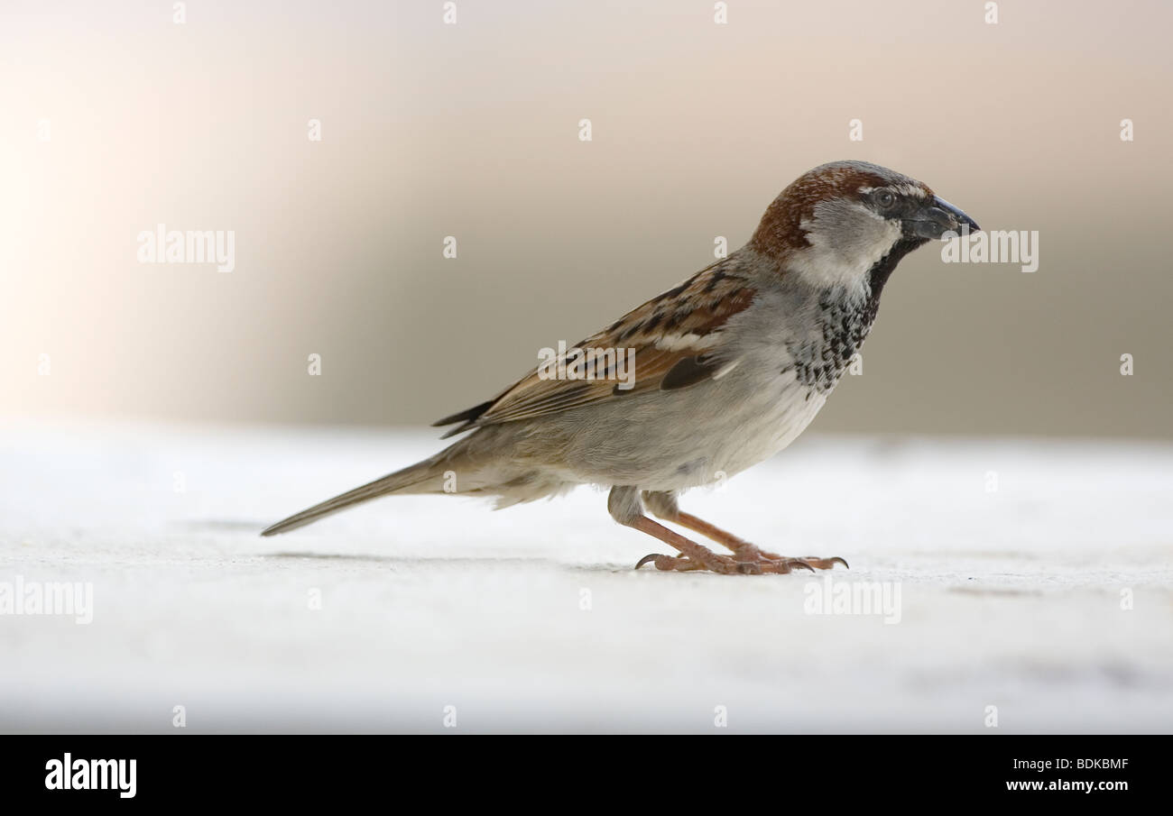 Adult Male House Sparrow Passer domesticus - Stock Image