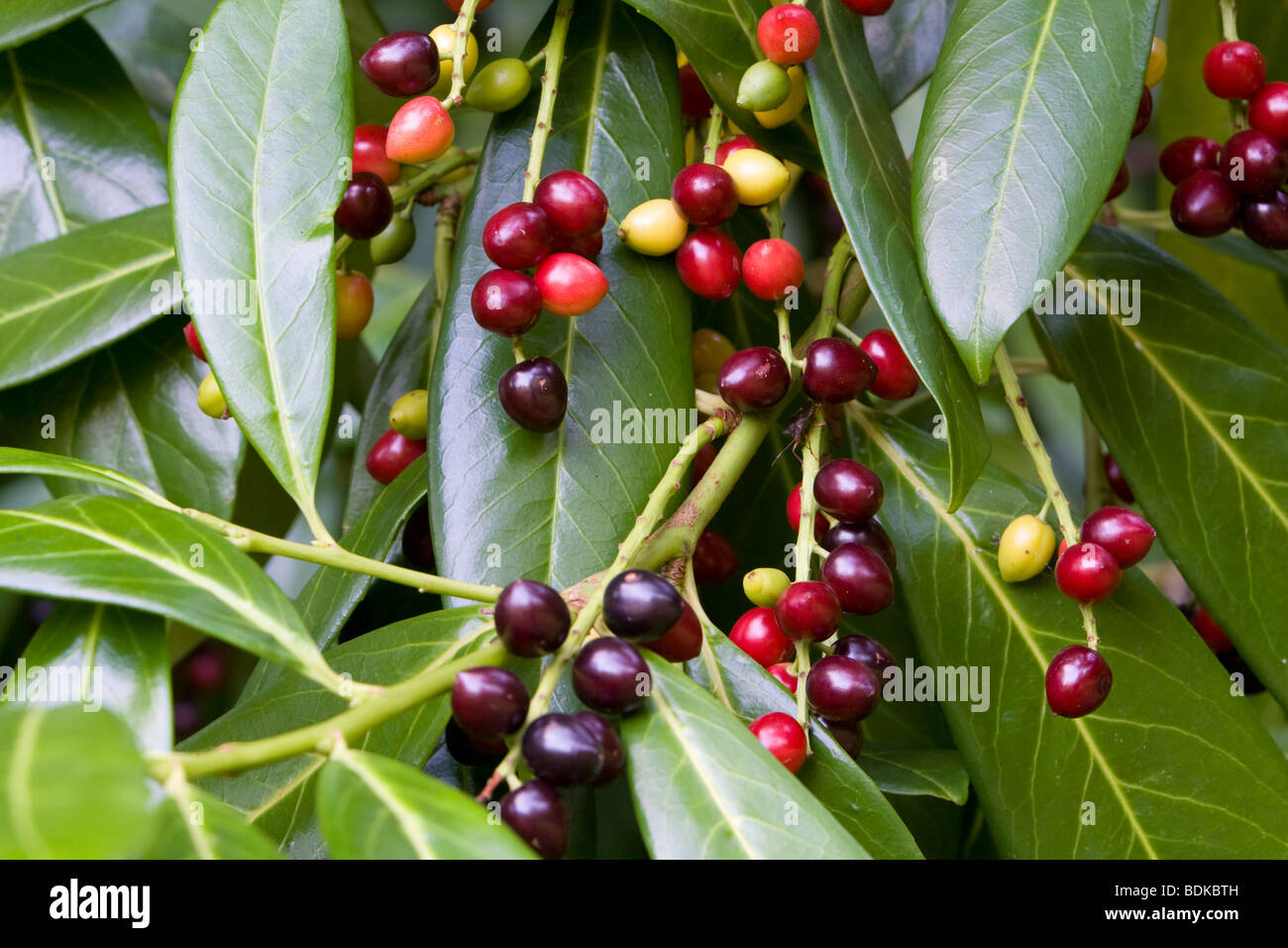 Cherry Laurel Prunus laurocerasus with berries Kent UK summer Stock Photo