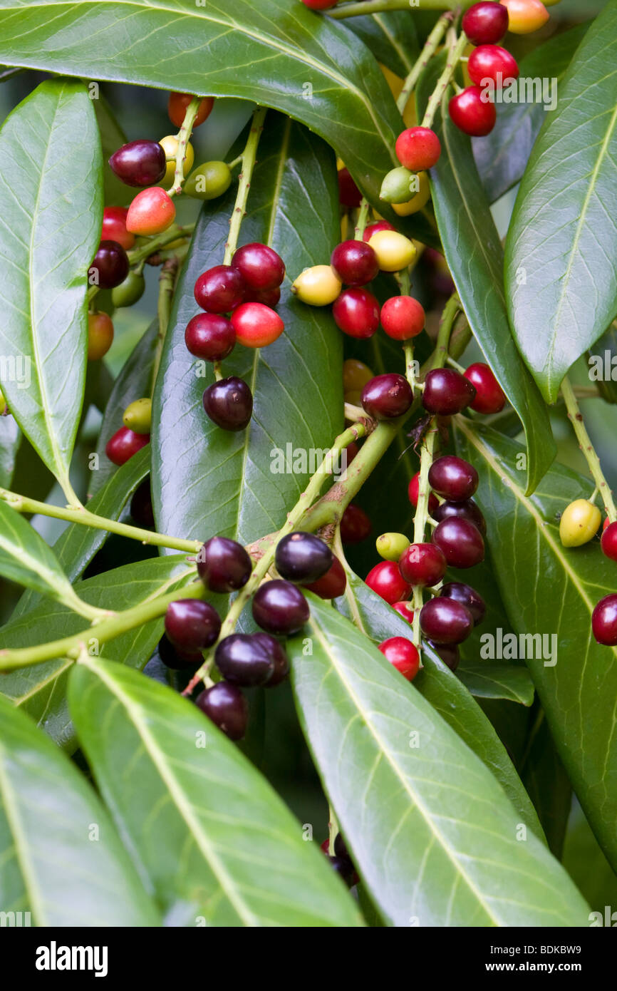 Cherry Laurel Prunus laurocerasus with berries Kent UK summer - Stock Image