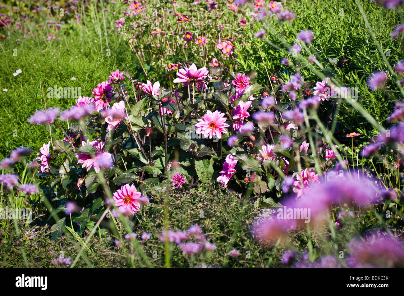 Dahlia 'Fascination' in garden border, summer UK, with Verbena bonariensis in foreground - Stock Image