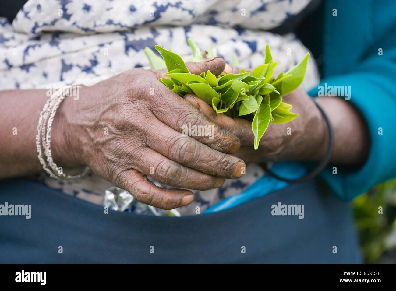 Tamil Tea Picker's hands holding fresh green tea leaf tips, just plucked. Central Highlands. Sri Lanka. Stock Photo
