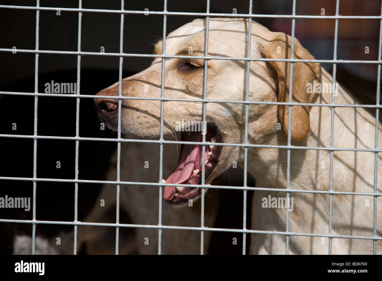fox hunting hound - Stock Image