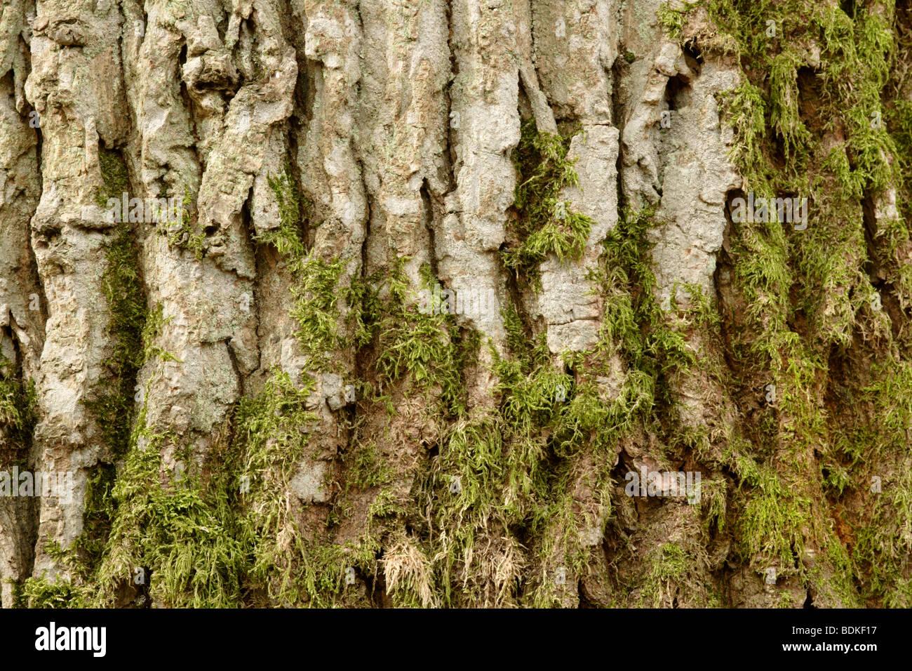 Moss growing on Oak tree (Quercus robur) bark - Stock Image