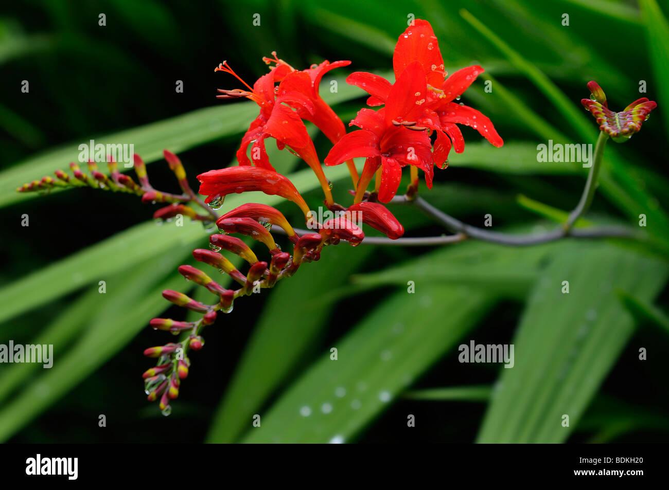 Cluster of Crocosmia Lucifer flower heads at Annapolis Royal Historic Gardens Nova Scotia Stock Photo
