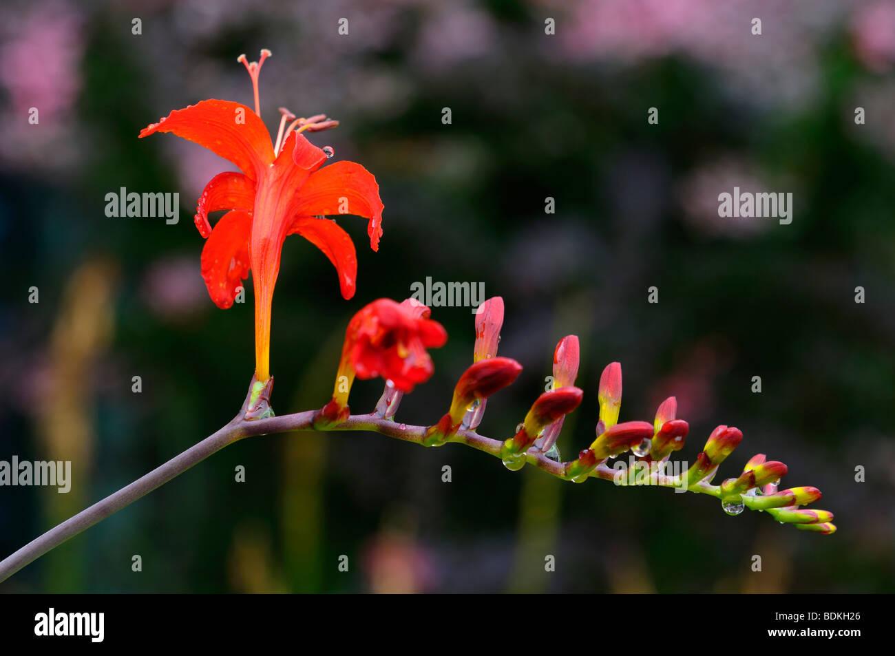 Red Crocosmia Lucifer flower head at Annapolis Royal Historic Gardens Nova Scotia Stock Photo
