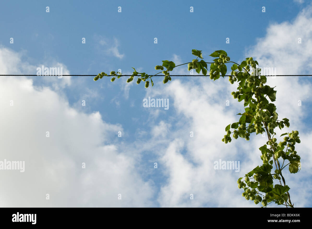 Humulus lupulus. Growing hops in a hop yard in Worcestershire, England - Stock Image