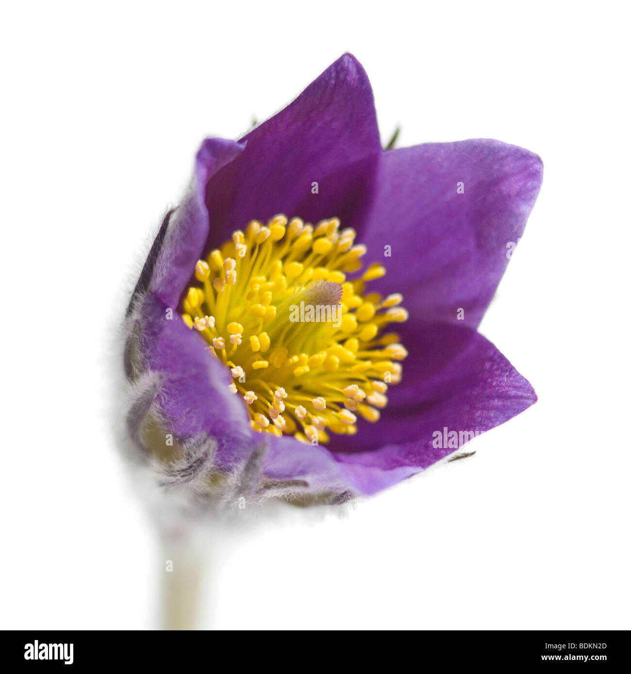 Macro shot of pasque flower or Pulsatilla early violet spring flower - Stock Image