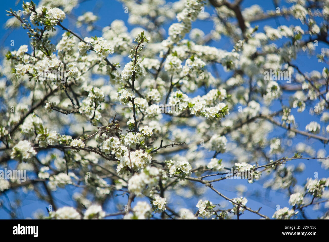 Blooming plum tree with white flowers on blue sky background, soft focus - Stock Image