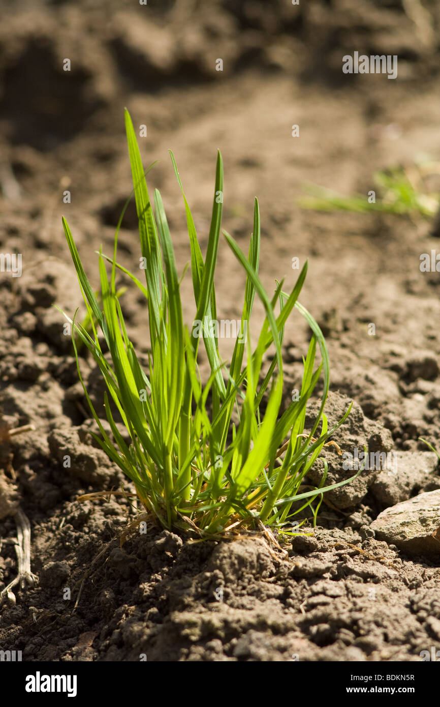Green bunch of spring grass, shallow depth of field - Stock Image