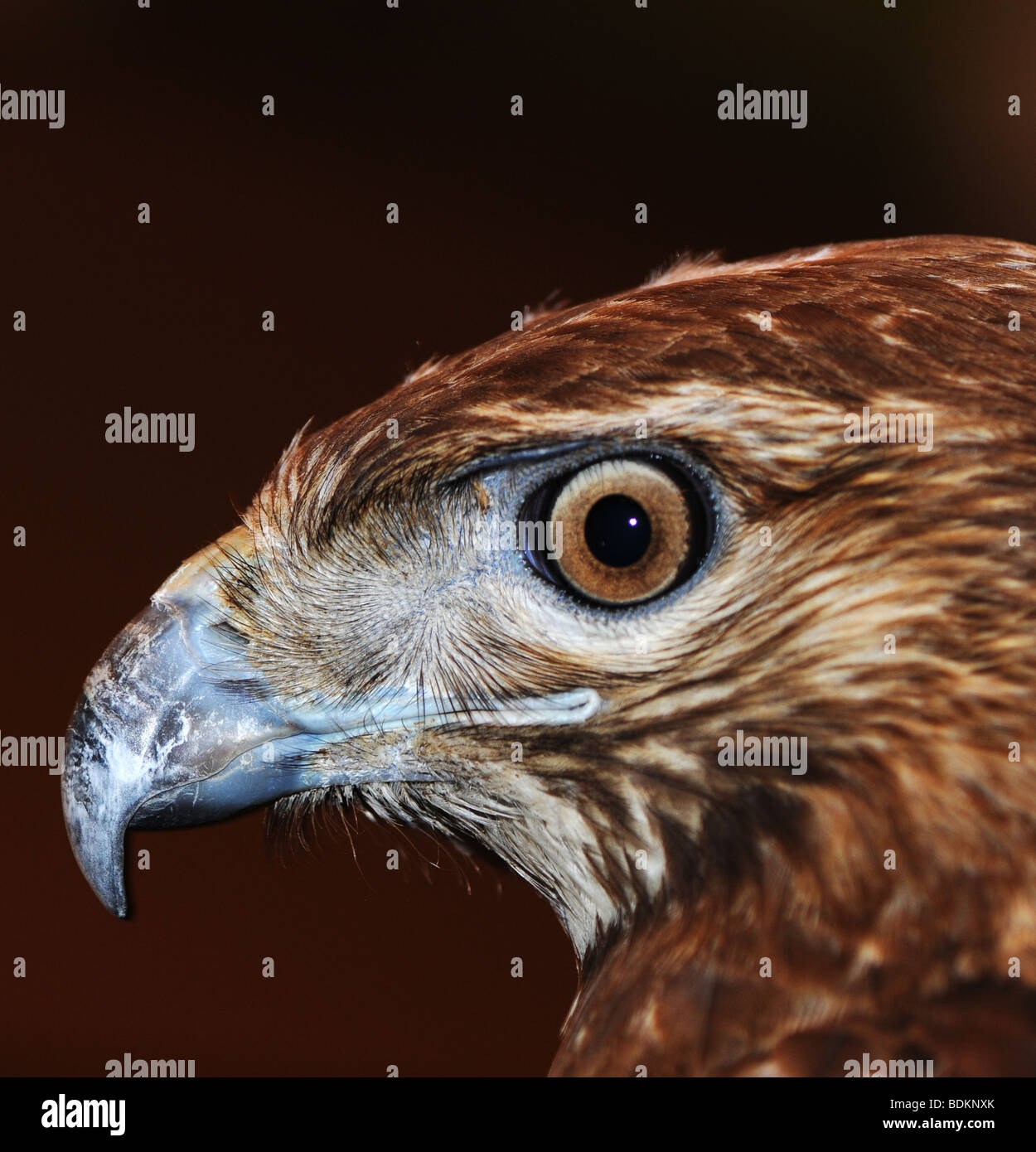 Red-tailed Hawk (Buteo jamaicensis), close-up view of its head - Stock Image