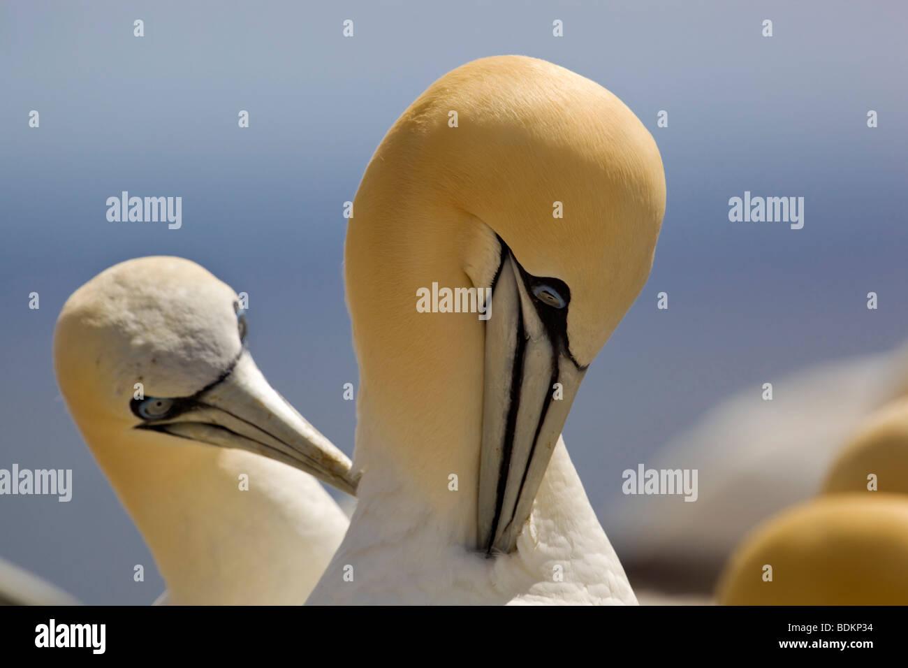 gannets; Morus bassanus; preening - Stock Image