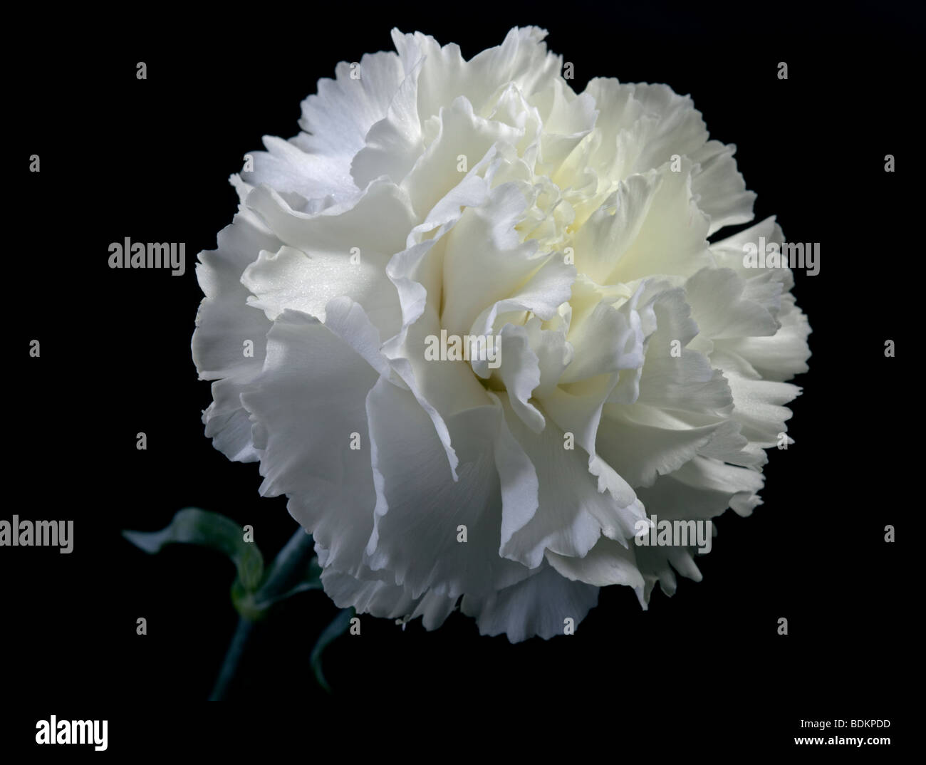 White Carnation - Stock Image