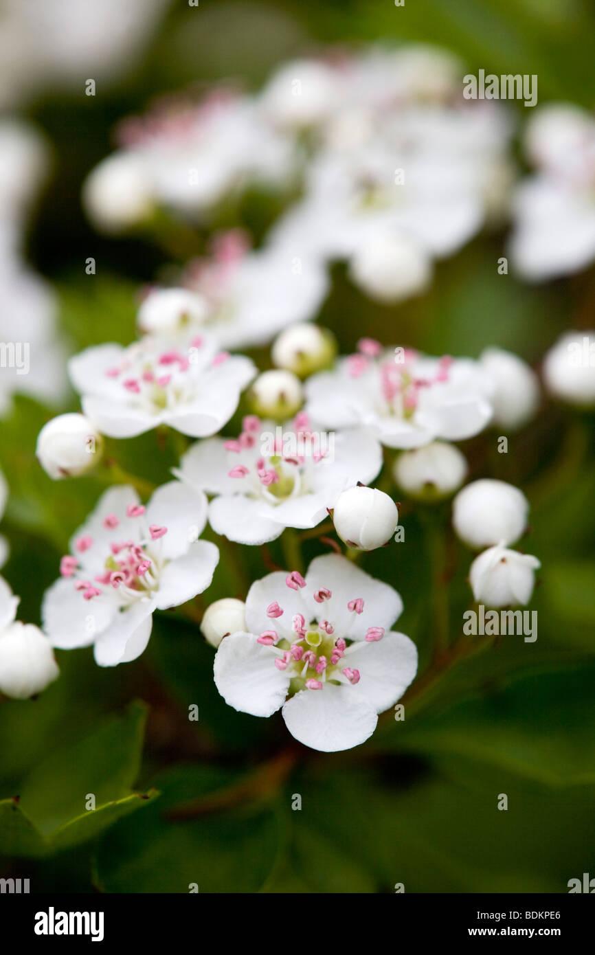 hawthorn; Crategus monogyna; blossom Stock Photo