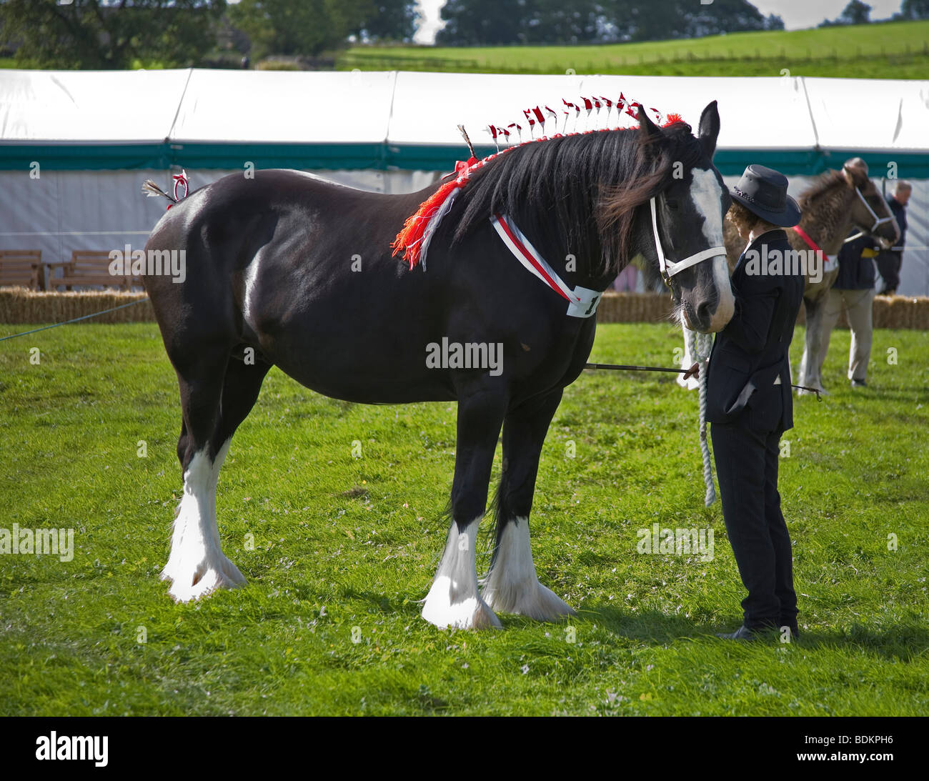 Shire Horse awaiting judging for the Heavy Horse class, in the show ring at the Malham agricultural show, Yorkshire - Stock Image