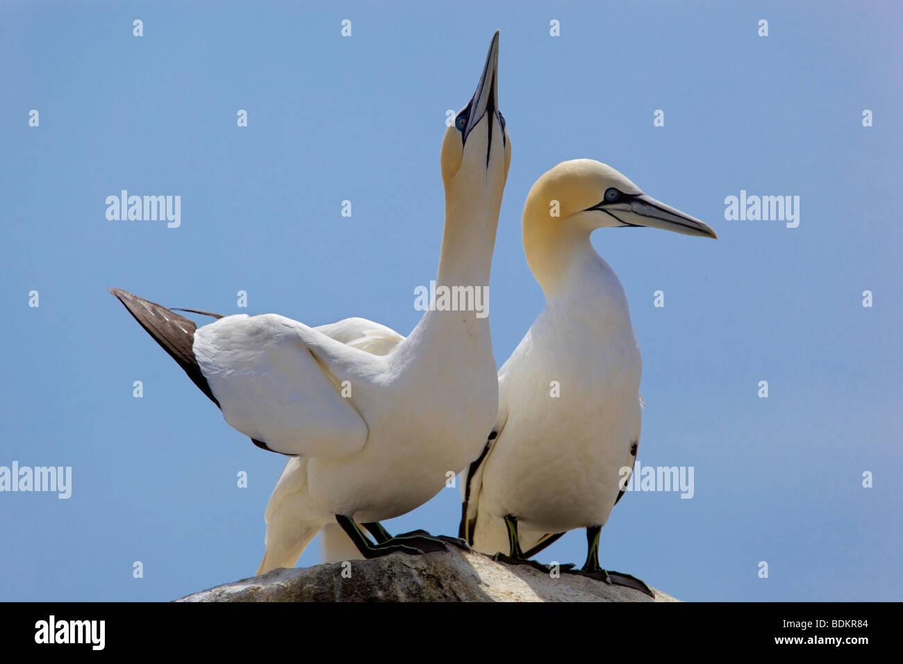 gannets; Morus bassanus; displaying - Stock Image
