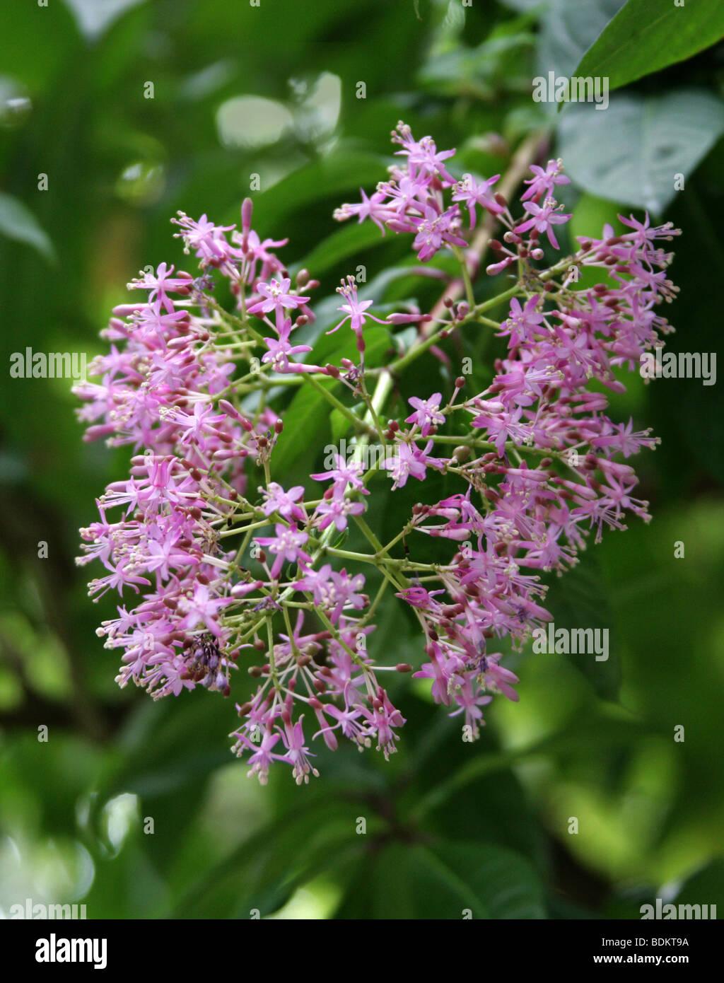 Lilac Fuchsia, Fuchsia arborescens, Onagraceae - Stock Image
