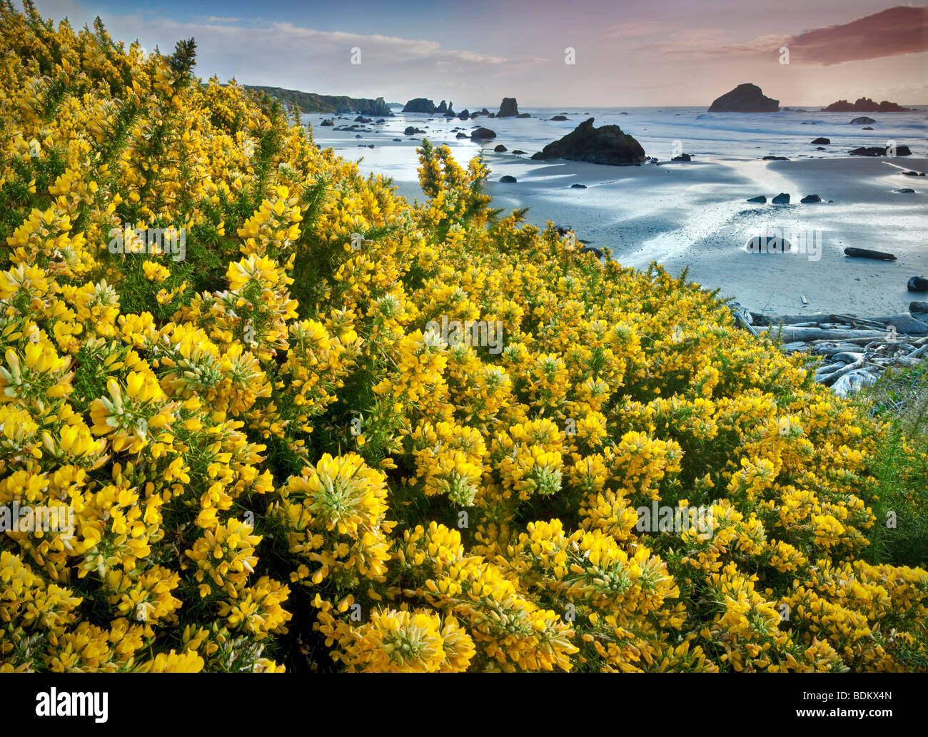 Bandon Beach with blooming gorse. Oregon - Stock Image