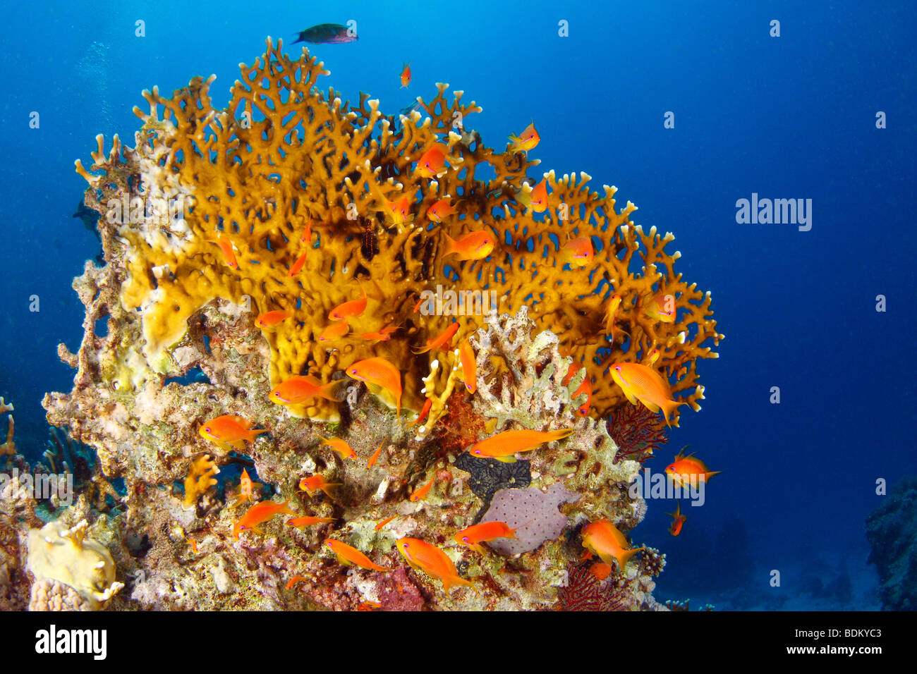 Bright orange-colored fire coral formation surrounded by deep blue water of the Red Sea and red-striped fairy basslets - Stock Image
