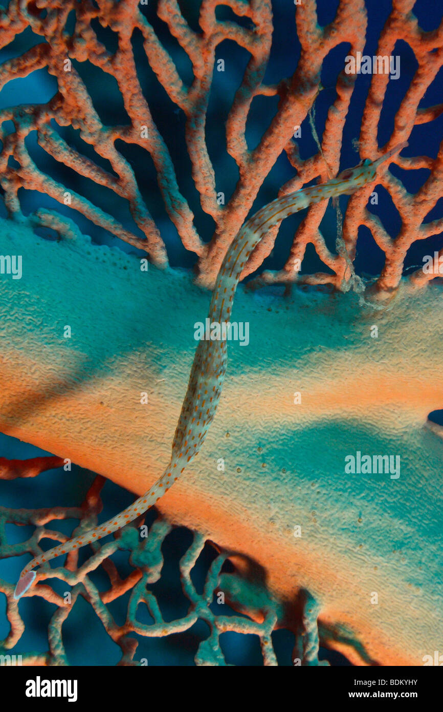 Network pipefish on a branch of a giant gorgonian fan coral. - Stock Image