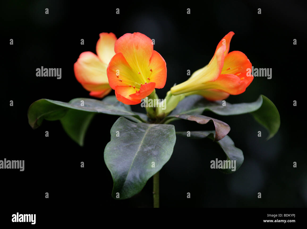 Vireya Rhododendron, Rhododendron zoelleri, Ericaceae, New Guinea, Moluccas - Stock Image