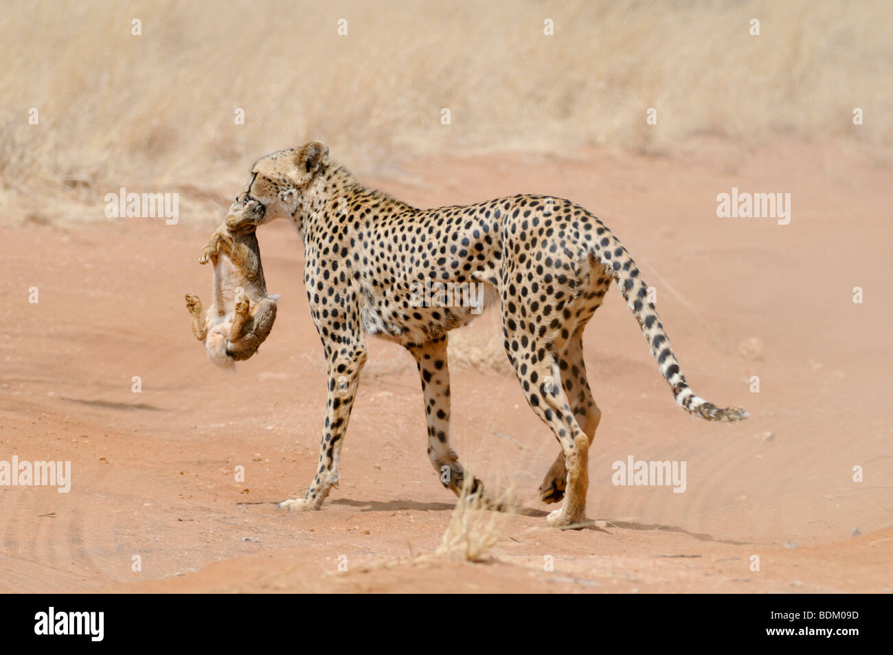 Africa, Kenya, Samburu National Reserve, Cheetah (Acinonyx jubatus) carries a hunted rabbit in its mouth back to - Stock Image