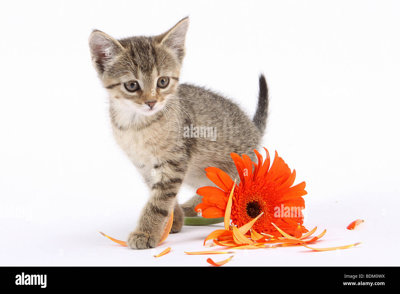tabby kitten besides blossom - cut out - Stock Image