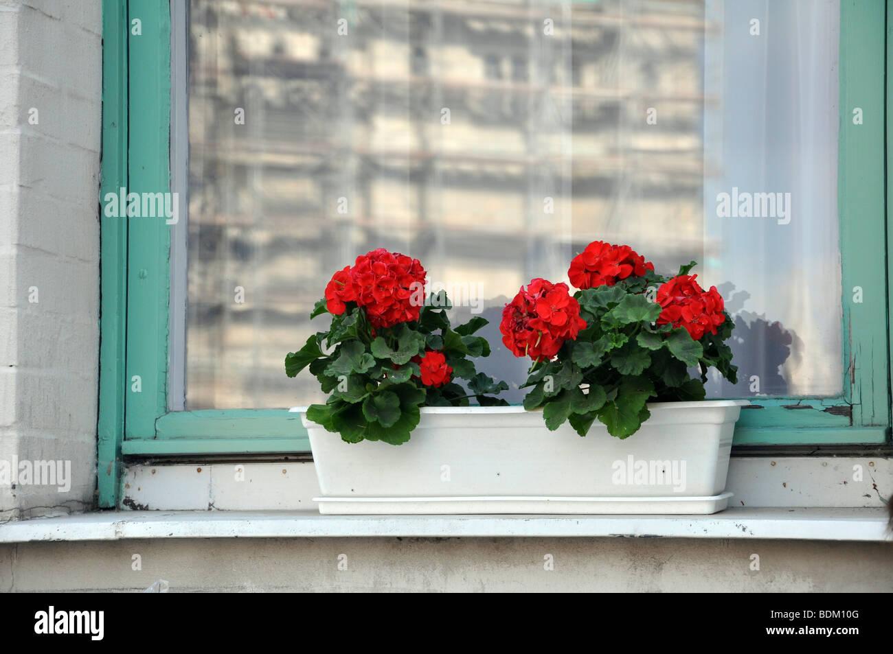 Eastern Europe, Hungary, Budapest, red Geranium flowers on a windowsill - Stock Image