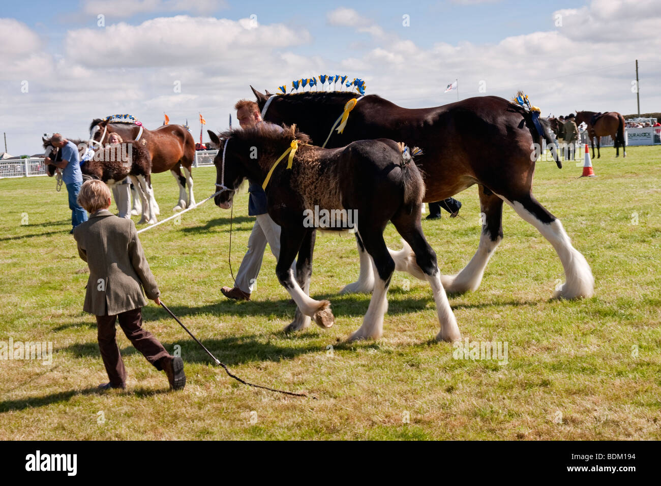 [shire horses] being judged at an agricultural show - Stock Image