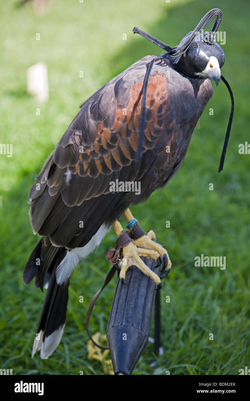 Harris Hawk on a Perch wearing Leather hood, popularly used for the Medieval fieldsport of Falconry - Stock Image
