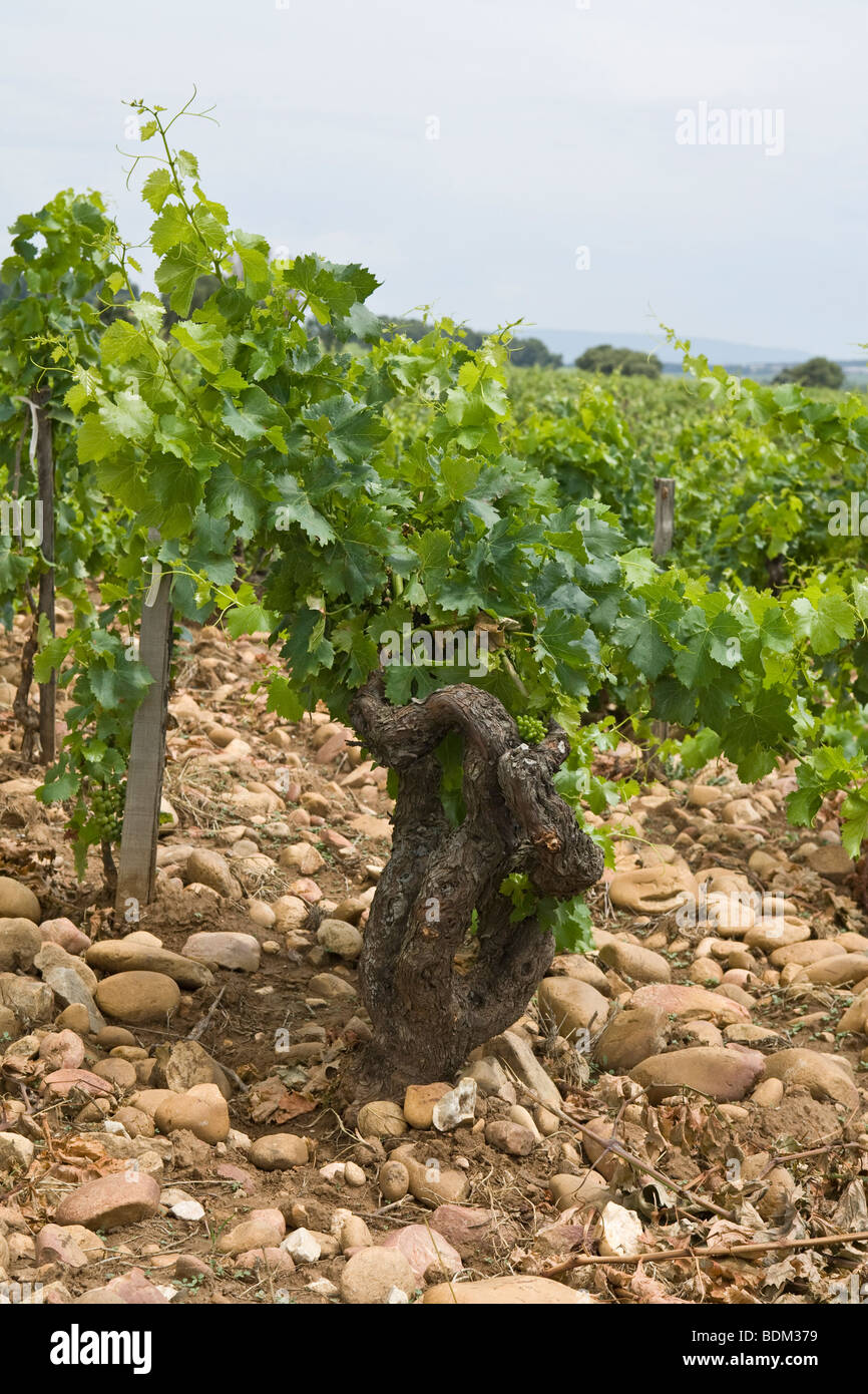 30 year old Grape Vines at a vineyard in Chateauneuf Du-Pape, France, showing the stoney soil that these grapes - Stock Image