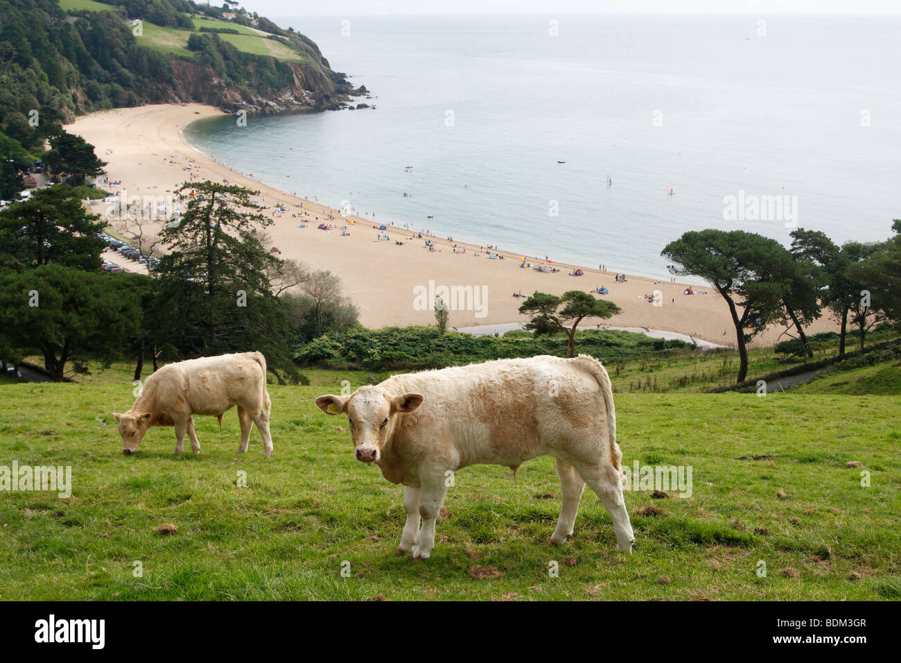 'Blackpool Sands' and grazing cows, Devon, England, UK - Stock Image