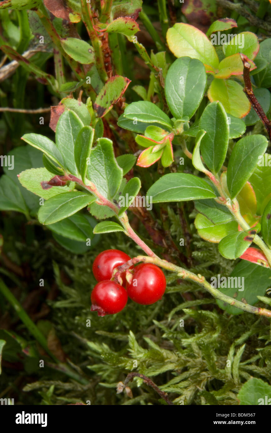 Bearberry, Arctostaphylos uva-ursi - Stock Image