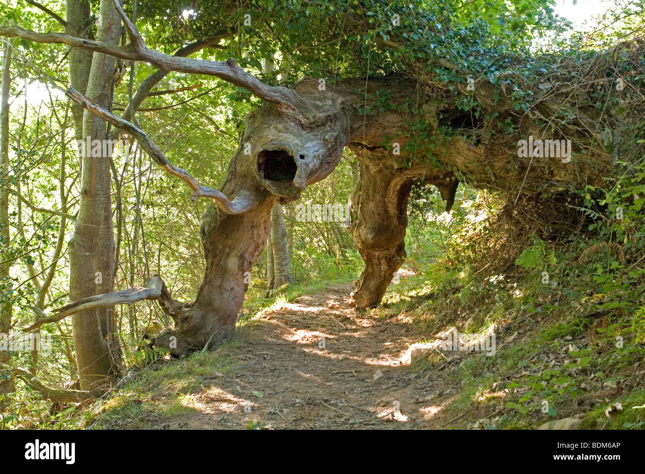 Unusual sight: the uprooted giant tree (Pyrenees Atlantiques- France).  Une curiosité naturelle: l'arbre - Stock Image