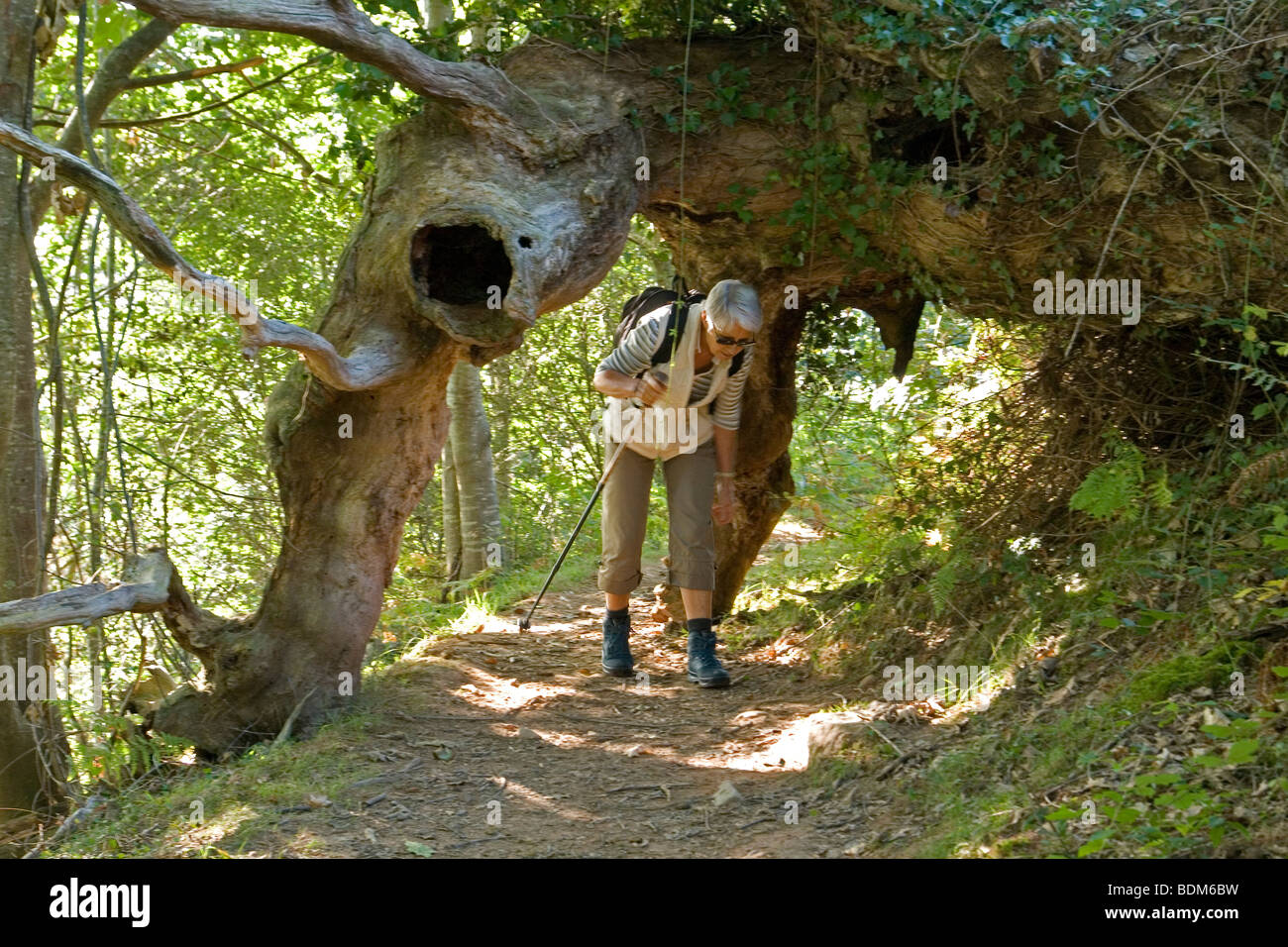 Unusual sight: the giant uprooted tree (Pyrenees Atlantiques- France).  Une curiosité naturelle: l'arbre - Stock Image