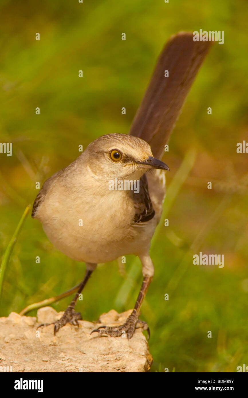 Rio Grande Valley, Texas, USA. The Northern Mockingbird has one of the most varied arrays of sounds and songs of Stock Photo